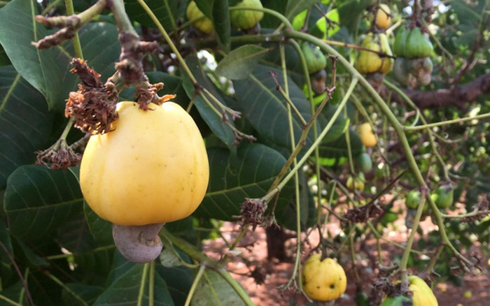 Many ripening cashew gardens, farmers' houses are languid because the price of fresh cashew drops sharply