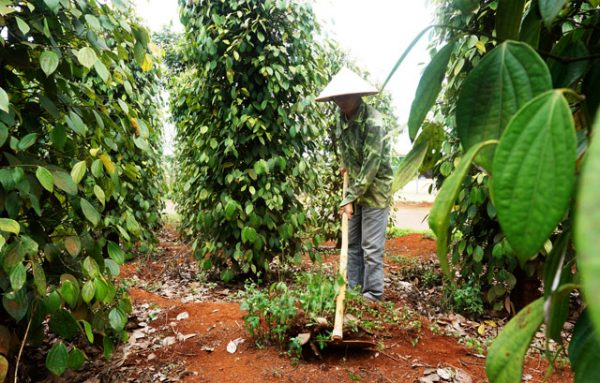 Dak Nong: The secret of growing pepper has profit in the price storm of Thuan Ha farmers