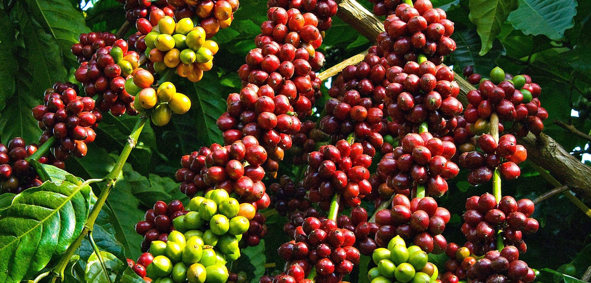 Overview of ASEAN coffee industry